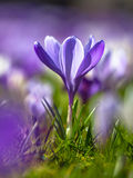 Crocus blooming in first sun in march Royalty Free Stock Images
