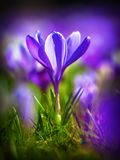 Crocus blooming in first sun of march Royalty Free Stock Images