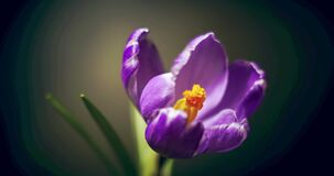 Crocus blossom, blue purple flower blooming, opening, spring time lapse, isolated on black background