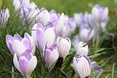 Crocus blossom in early spring Stock Photo