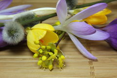 Crocus blossom Royalty Free Stock Images
