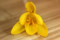 Crocus blossom Stock Images