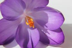 Crocus blossom Royalty Free Stock Photos