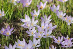 Crocus blossom Stock Photo