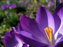 Crocus blossom with flower-bed. The inside of a violet spring crocus blossom with yellow filaments in the sunlight. A crocus flower-bed in the background Royalty Free Stock Photos
