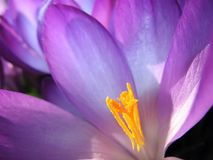 Crocus blossom inside Stock Photos