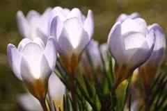 Crocus blossoms Stock Photo