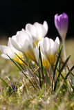Crocus blossoms Stock Photo