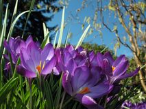 Crocus blossoms in flower-bed. Purple spring crocus flowers in front of a hazelnut tree and the blue sky Stock Photo