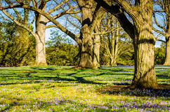 Crocus Blossoms - Longwood Gardens - PA. Field of purple crocus & x28;crocus sativus& x29;  flowers, early spring blossoms, under oak trees at Longwood Gardens Royalty Free Stock Photography