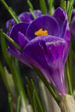 Crocus in blue. Detailed view of blue Crocus Royalty Free Stock Photos