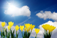 Crocus and blue sky. Bright yellow crocus and beautiful sunny sky royalty free stock photography