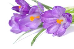 Crocus bouquet Royalty Free Stock Photo