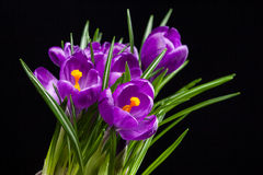 Crocus bouquet on black Stock Photos