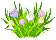 Crocus bouquet. Illustration of beautiful crocus bouquet Stock Photography