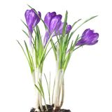 Crocus bouquet isolated Stock Images