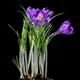 Crocus bouquet isolated Royalty Free Stock Photo
