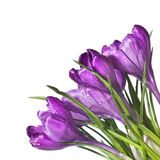 Crocus bouquet isolated Royalty Free Stock Images