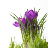 Crocus bouquet isolated on white Stock Images