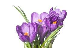 Crocus bouquet with water drops isolated on white Stock Photo