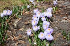 Crocus bright purple snowdrop in a flowering park on a sunny spring day royalty free stock photos