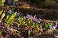 Crocus bed Stock Image