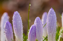 Crocus buds covered with dew droplets Royalty Free Stock Image