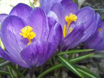 Crocus buds. The first spring flowers. Floriculture. Landscaping. Macro Royalty Free Stock Image