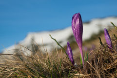 Crocus buds with water drops against mountains landscape Stock Image