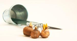 Crocus bulbs,  bucket and  rake Royalty Free Stock Photo