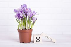 Crocus, calendar on wall background. Crocus, calendar, place for text. Perfect gift for woman stock photos