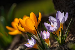 Crocus chrysanthus. Gold and yellow type of crocus with other crocuses royalty free stock photo