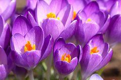 Crocus chrysanthus - a little group of snow crocusses. Crocus chrysanthus - the snow crocus is one of the first geophytes blooming in spring. It only opens the royalty free stock images