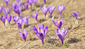 Crocus in Ciucas Mountains Stock Images