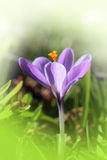 Crocus close up. Lonely crocus in the grass Royalty Free Stock Photography