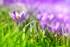 Crocus close up. Crocuses meadow with one crocus close up Royalty Free Stock Photography