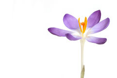 Crocus close up Stock Photography