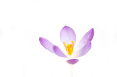 Crocus close up Stock Images