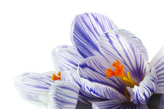 Crocus close up isolated on white Stock Photos