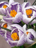 Crocus closeup Royalty Free Stock Photo