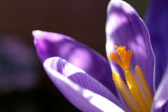Crocus closeup Royalty Free Stock Photos