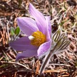 Detailed wild flower crocus in full bloom surrounded by forest pine needles. A single lavender crocus flower blooming in the wild on a sunny day stock images