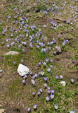 Crocus (croci) flowers in spring at mountains Royalty Free Stock Image