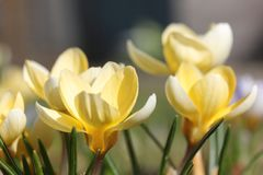 Crocus  Crocus. Crocus English plural: crocuses or croci is a genus of flowering plants in the iris family comprising 90 species of perennials growing from corms Stock Photography