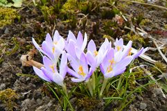 Spring Crocus emerges from winter garden debris. Crocus, crocuses or croci is a genus of flowering plants in the iris family comprising 90 species of perennials Royalty Free Stock Photography
