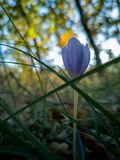 Autumn Crocus in the Forest royalty free stock photos