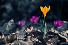 Crocus and cyclamen Royalty Free Stock Image