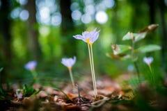 Crocus d'automne d'autumnale de Violet Colchicum, safran de pré, dame nue avec le fond trouble vert de forêt Feuilles d'automne s Images stock