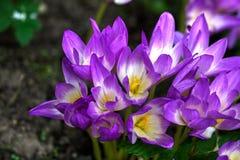 Crocus d'automne Fleur Photos stock