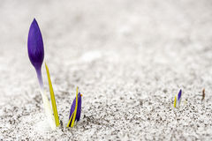 Crocus dans la neige image stock